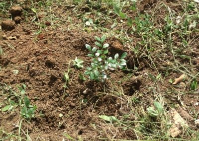 A seedling newly planted on the reforestation site in the good hope region